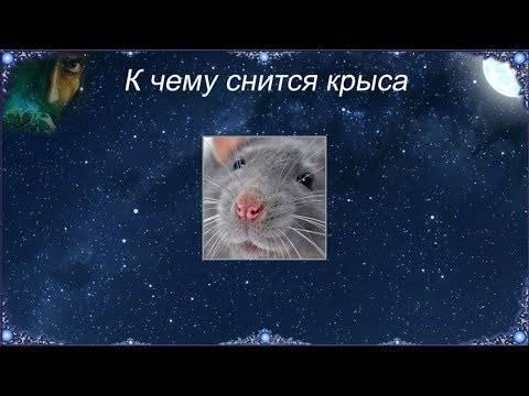 К чему снится домашняя крыса ???? - топ 34 значения сна ???? по сонникам: что означает, если приснился ручной, белый, дружелюбный грызун женщине или мужчине