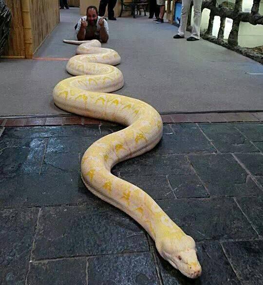 Большой питон белый