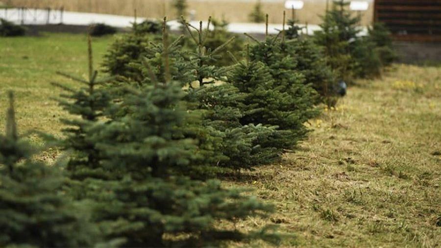 Почему нельзя сажать ель возле дома и во дворе: приметы о хвойных деревьях