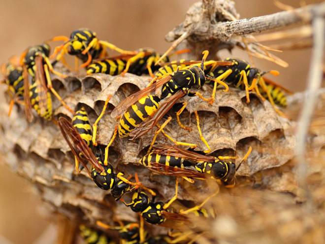 Пчелы оса