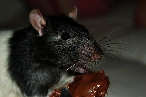К чему снится крыса с крысятами ???? - топ 30 трактовок ❗ по сонникам: что означает для женщины и мужчины видеть во сне много маленьких черных или серых грызунов