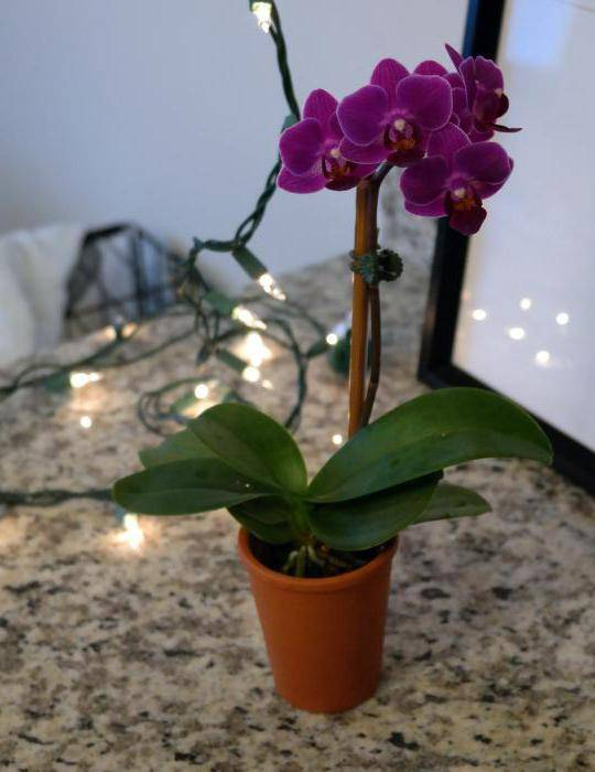 Народные приметы и суеверия об орхидеях: можно ли держать в доме