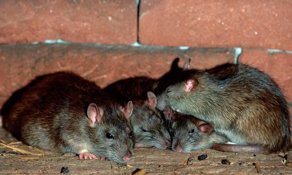 Чёрная и белая крыса