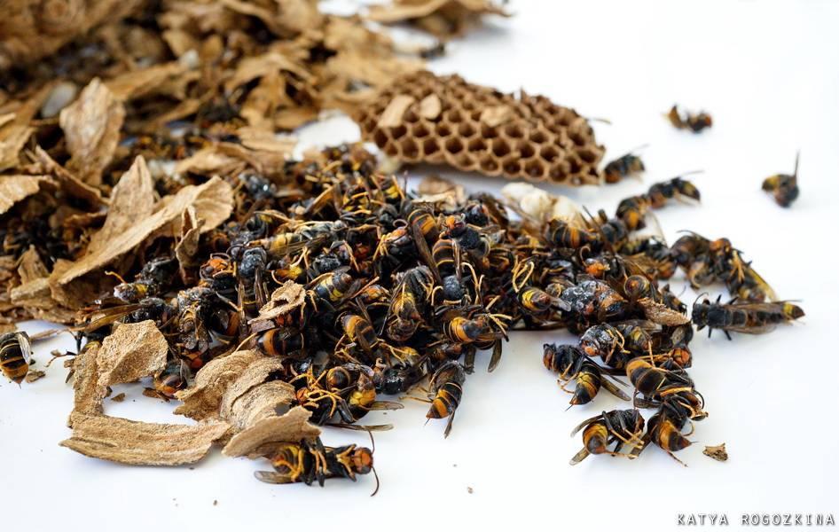 К чему снятся осы: много огромных насекомых в доме, толкование по сонникам