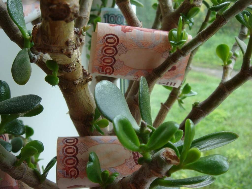 Как правильно посадить денежное дерево для привлечения денег   zdavnews.ru