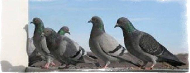 Птицы вьют гнездо возле дома, на балконе, на даче: народные приметы