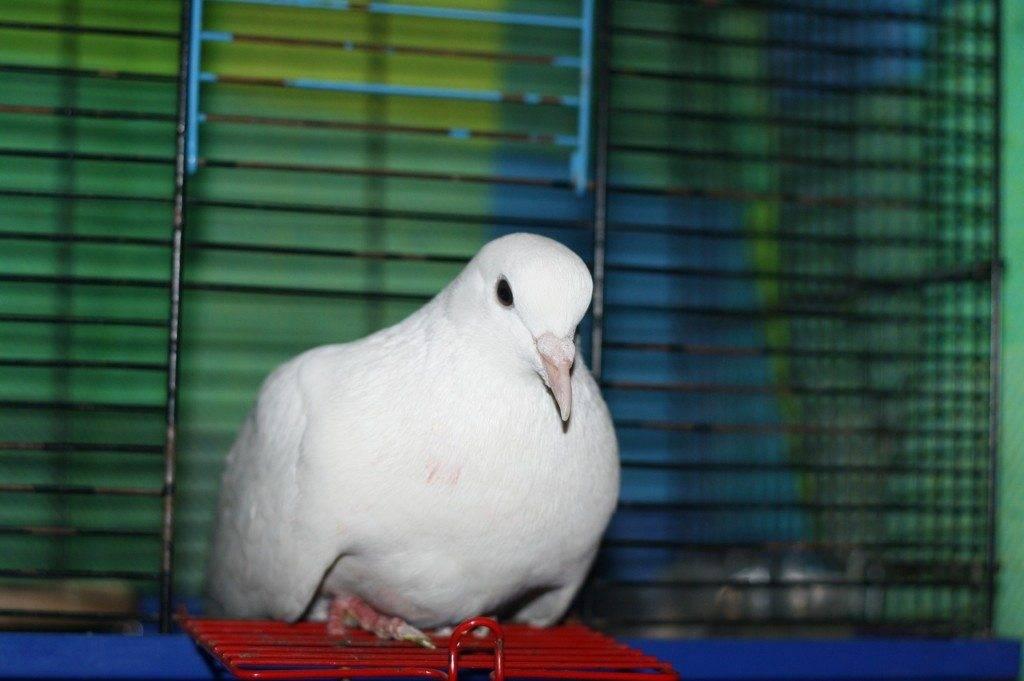 Стая белых голубей