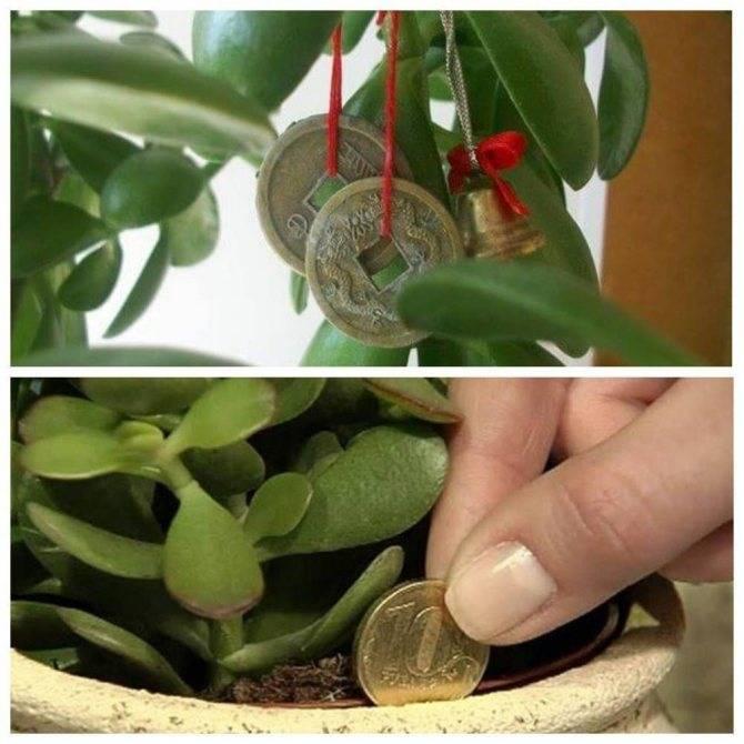 Как рассадить денежное дерево в домашних условиях? грунт и горшок для денежного дерева - sadovnikam.ru