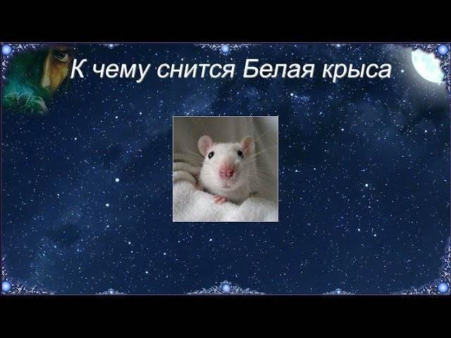 К чему снится крыса по соннику? видеть во сне крысу – толкование снов.