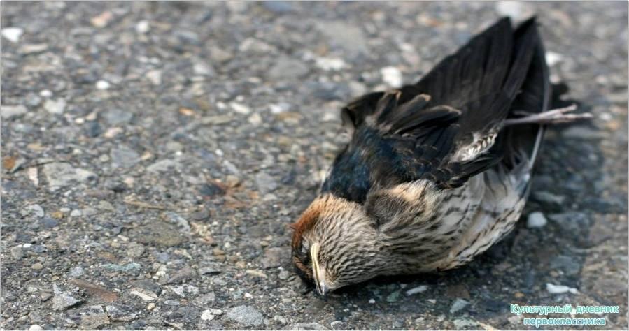 Объяснение по сонникам, к чему снится мертвая птица: значение умирающего пернатого на земле, в воде или дома