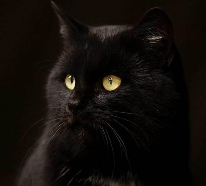 Сонник черный кот или кошка. к чему снится черный кот или кошка видеть во сне - сонник дома солнца