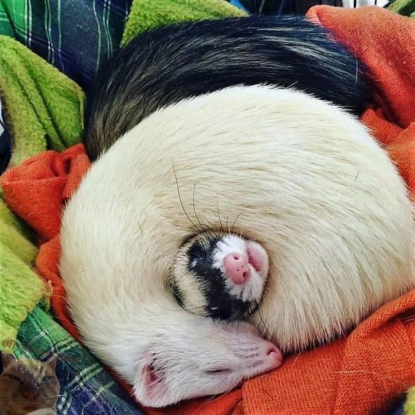 Сонник хорек кошка. к чему снится хорек кошка видеть во сне - сонник дома солнца