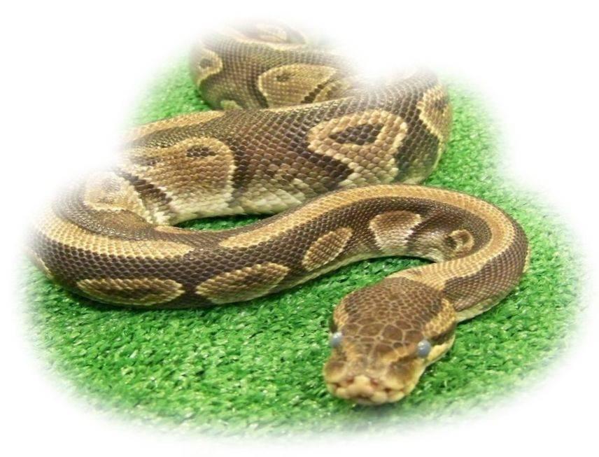К чему снится удав ???? — топ 42 трактовок ❗ по популярным сонникам: что означает для мужчины или женщины видеть во сне большую белую, зеленую или желтую змею в доме
