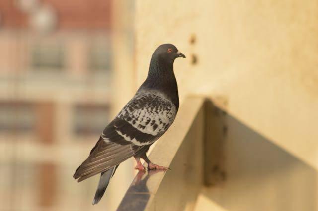 Узнайте, что будет, если голубь вдруг залетел к вам на балкон, примета для женщин и мужчин