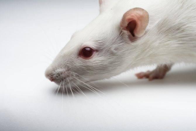 Что означает сон про домашнюю крысу — 34 подробных толкования