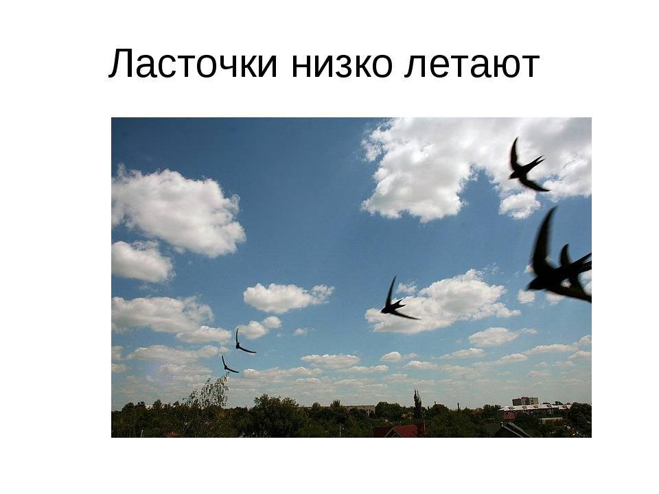 Почему ласточки летают низко или высоко: значение примет