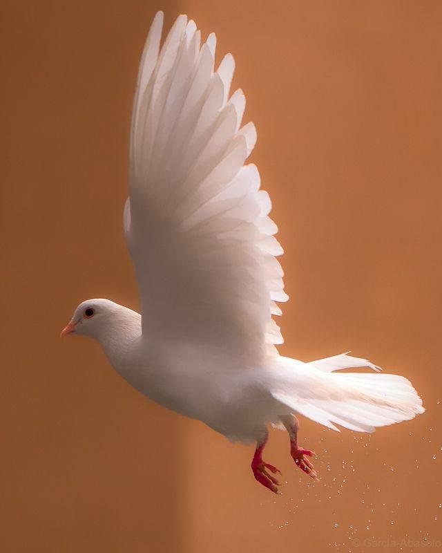 Отпускать белого голубя