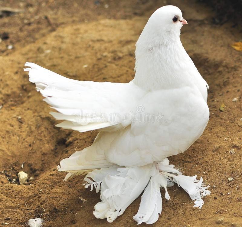 К чему снится белый голубь женщине или мужчине - толкование сна по сонникам