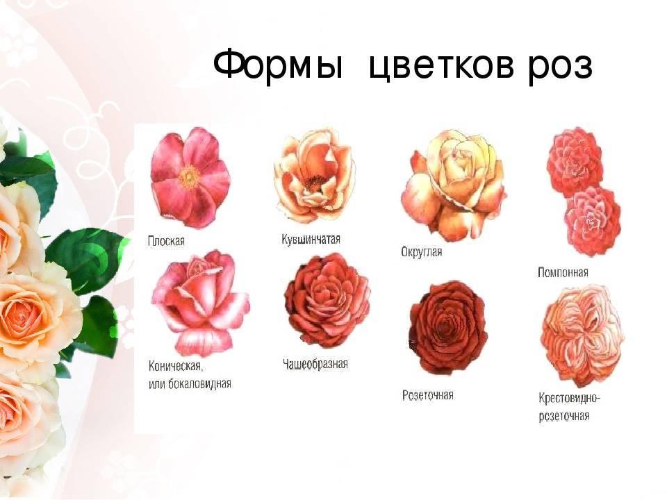Приметы о цвете и количестве роз - можно ли дарить 9, 10, 13 или другое число цветков