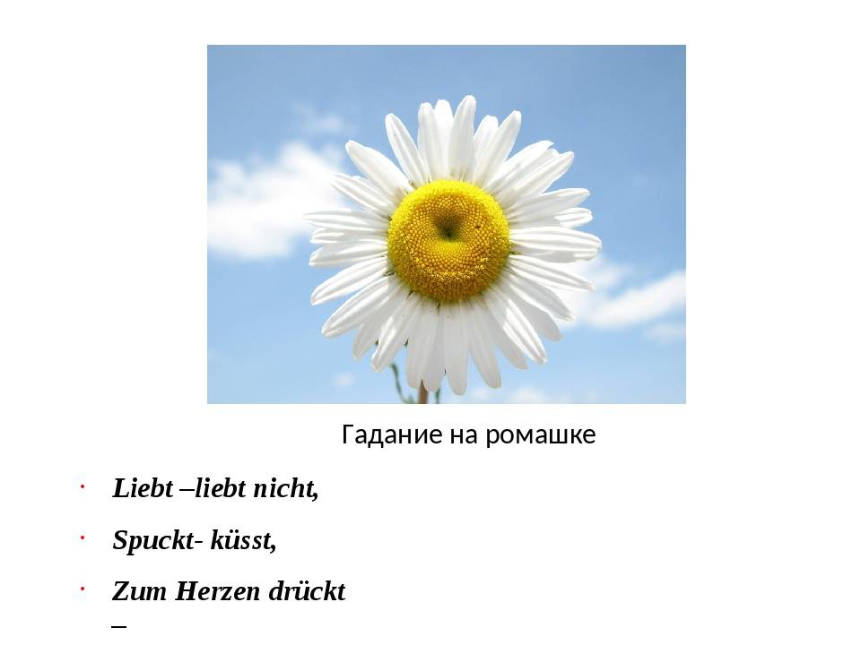 Любит – не любит… так ли проста ромашка? — eta-dzeta.ru