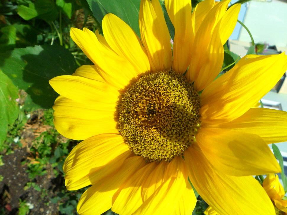 К чему снятся подсолнухи ? - 42 значения ✨ по сонникам: что значит во сне видеть цветущее подсолнуховое поле и собирать, покупать или дарить подсолнечники с семечками