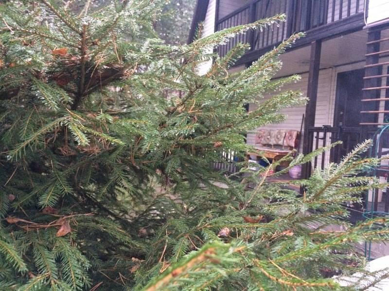 Почему нельзя сажать елку во дворе дома, можно ли возле жилья на дачном участке помещать ель, сосну, что делать при примете о хвойных деревьях?