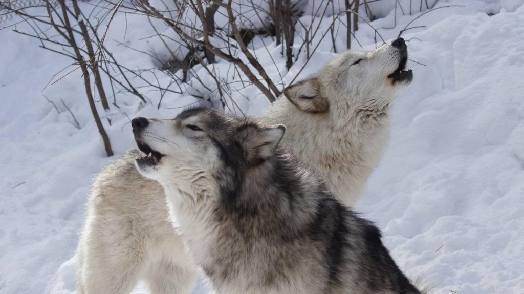 К чему снится нападение волков по соннику? видеть во сне нападение волков – толкование снов.