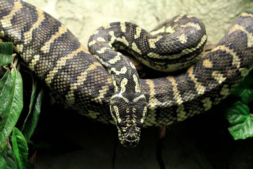 Сонник желтый питон змея. к чему снится желтый питон змея видеть во сне - сонник дома солнца