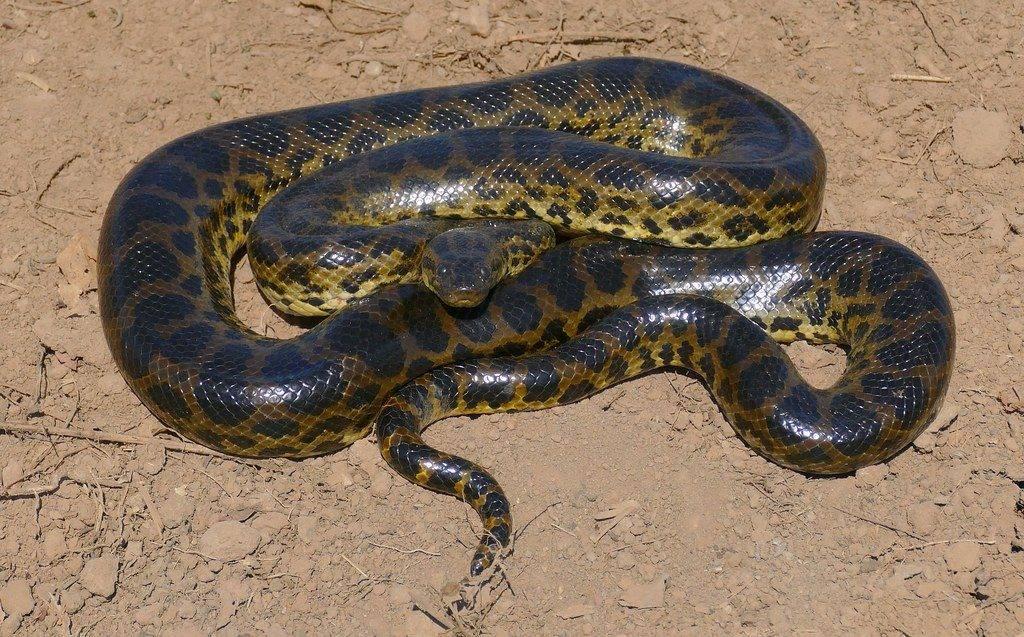 Желтый питон змея
