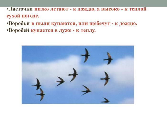 Приметы про ласточек — если летают низко, залетела в окно, в дом, вьет гнездо