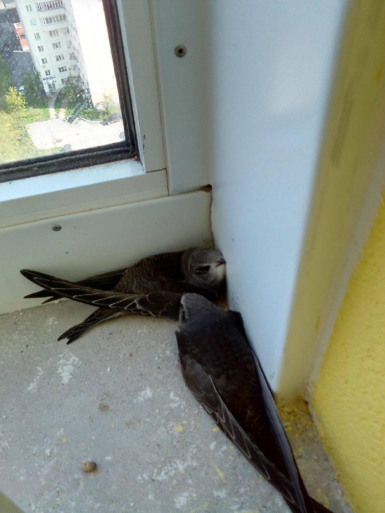 Голубь залетел на балкон — примета и её толкование в зависимости от расцветки птицы