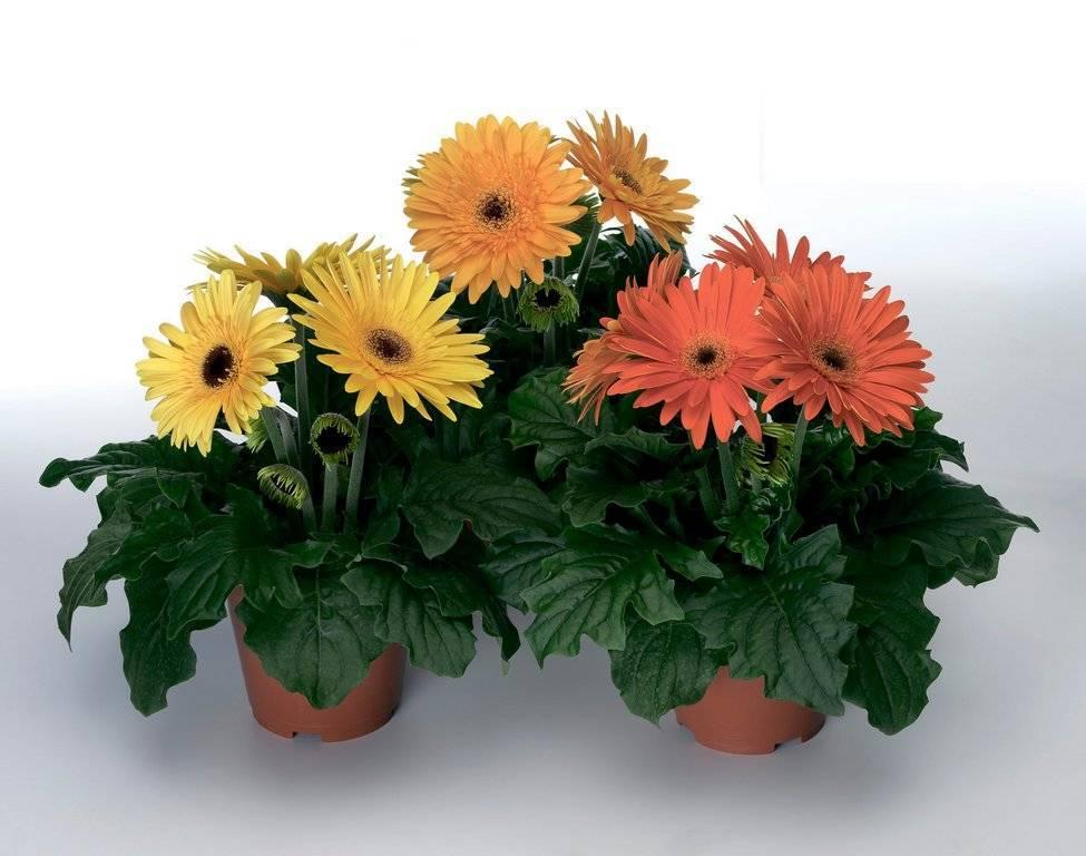 Гербера: уход и выращивание в домашних условиях, болезни и виды | клуб цветоводов