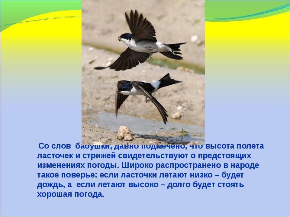 Почему перед дождем ласточки летают низко над землей: верна ли примета