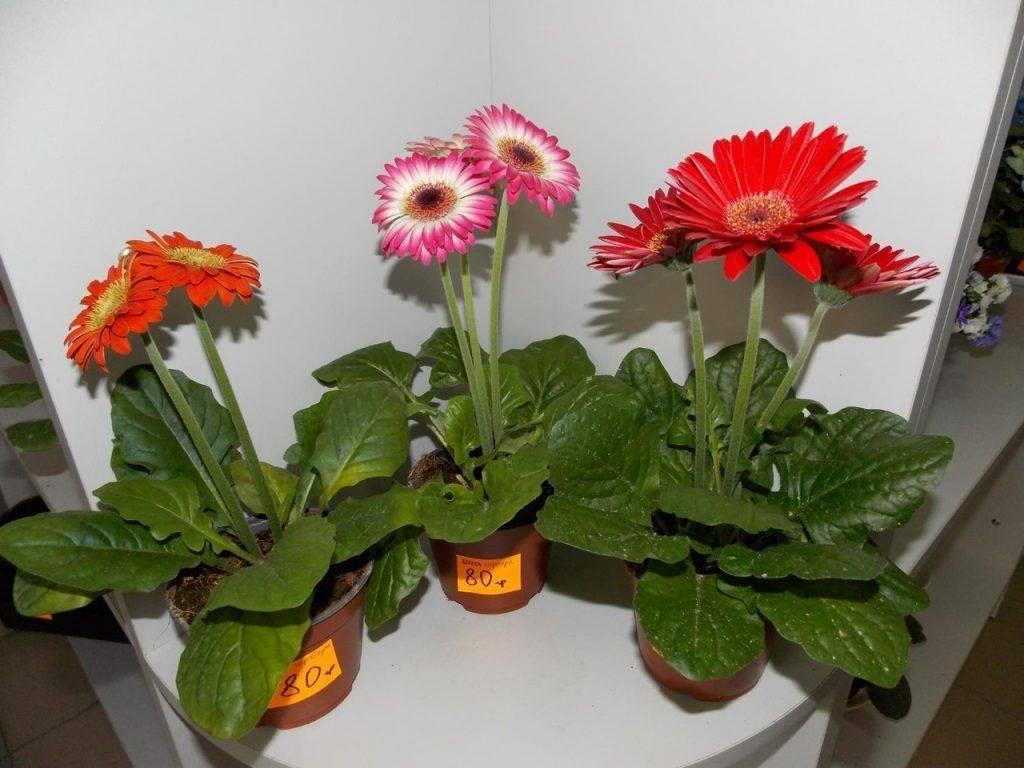 Герберы (48 фото): уход за комнатными цветами в домашних условиях, описание герберы джемсона, белых, оранжевых и желтых видов