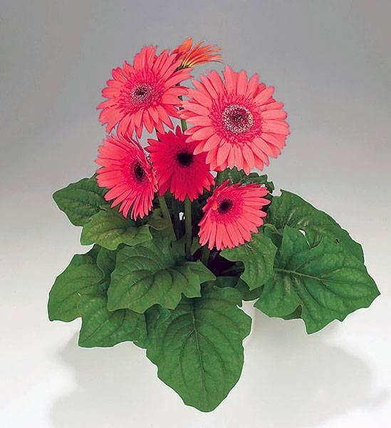 Гербера: уход в домашних условиях, и где размещать горшок с комнатным растением, как ухаживать после покупки, как размножать, какие проблемы при выращивании цветов?