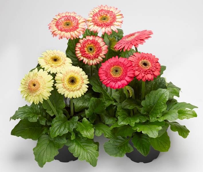Цветы герберы посадка и уход - дача, сад, огород, комнатные растения