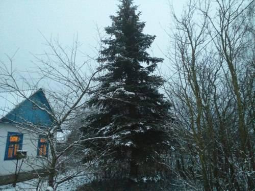 Почему нельзя сажать елки на участке или во дворе: значение примет