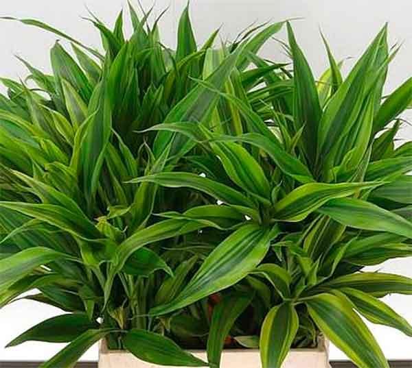 Драцена - народные приметы и суеверия о растении