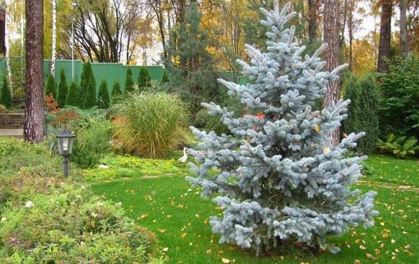 Можно ли сажать елки на участке приметы?