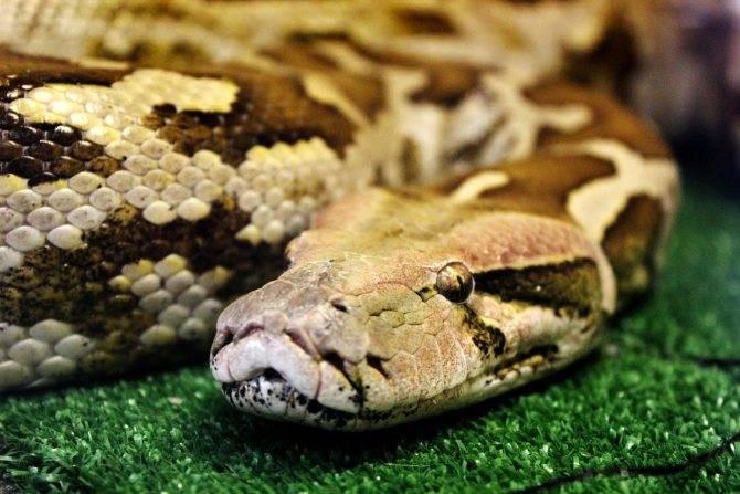 Сонник удав змеи. к чему снится удав змеи видеть во сне - сонник дома солнца