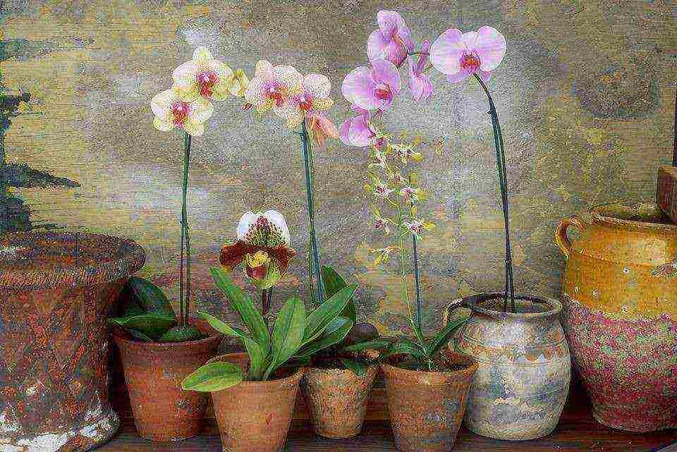 Орхидея в доме: приметы и суеверия