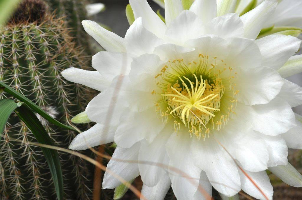 Зацвел кактус: приметы и поверья, связанные с колючим цветком