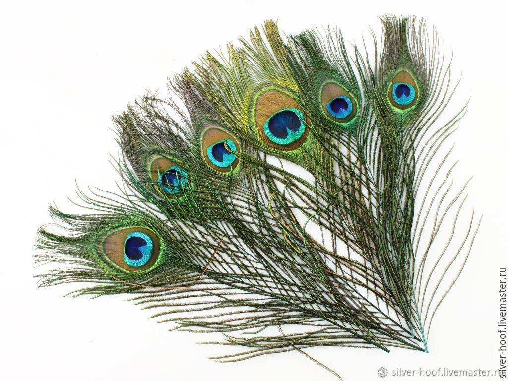 Приметы о перьях павлина в доме