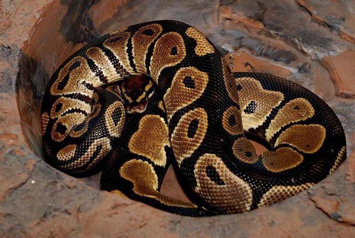 К чему снится большая змея женщине или мужчине - толкование сна по сонникам