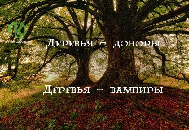 Лечение деревьями и их энергетикой, какое выбрать