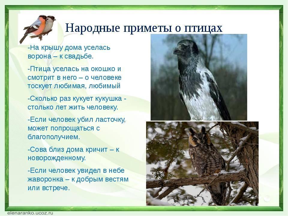 10 примет о птицах, предвещающих беду