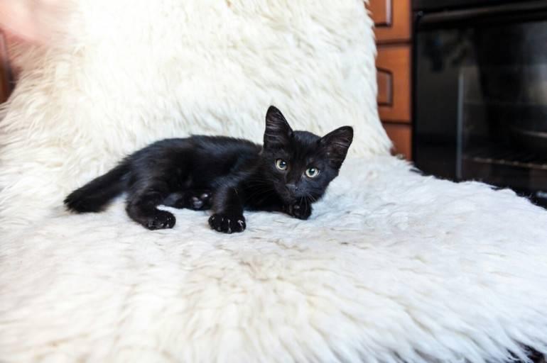 Кчему снится черный кот: подробное толкование посонникам