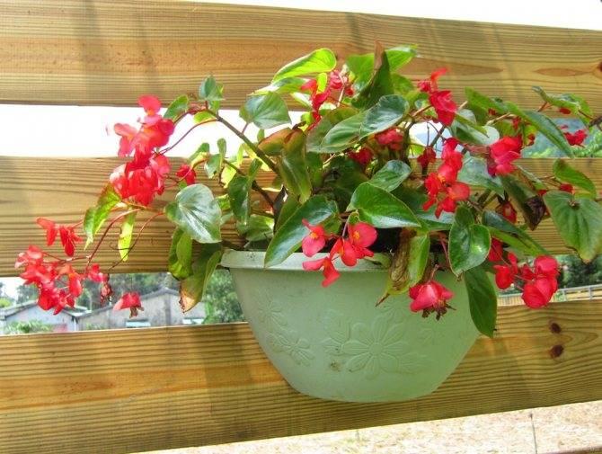 Цветок мирт - приметы и суеверия: вся правда о комнатном растении, можно ли держать его дома, к чему цветет и какие еще секреты таит в себе обыкновенный обитатель подоконников