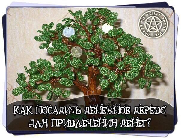 Денежное дерево: как сажать и когда?