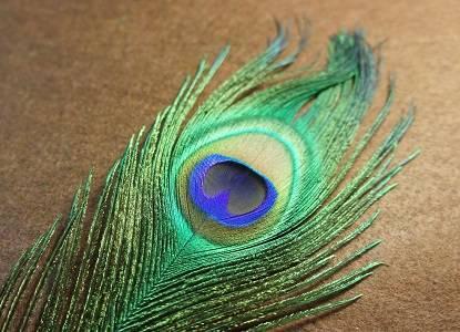 Перья павлина в доме — народные приметы и суеверия